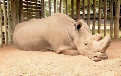 Poslednji nosorog na svetu je ipak uspavan